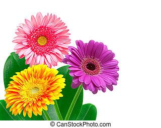 gerber flower isolated on white background