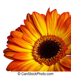 Gerber flower on a white background