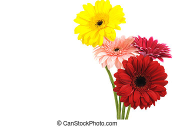 Gerber flowers - Gerber colorful flowers , on a white...