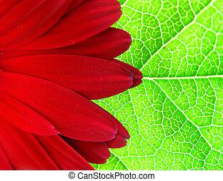 gerber, képben látható, a, levél növényen