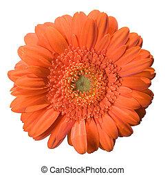 gerbera, цветение