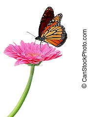Gerbera and Monarch - Fresh pink gerbera flower and monarch...