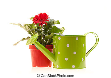 Gerbera And Watering Can On White
