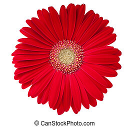 Gerbera - Beautiful gerbera flower isolated on white