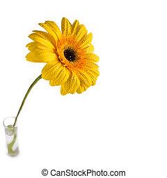 gerbera, blomma