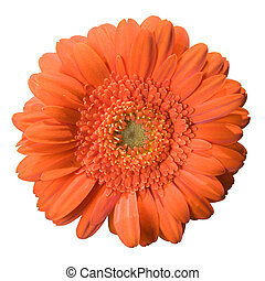 Gerbera bloom isolated on a white background
