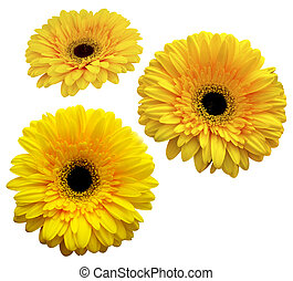 gerbera. bouquet of flowers. yellow gerbera isolated on white background