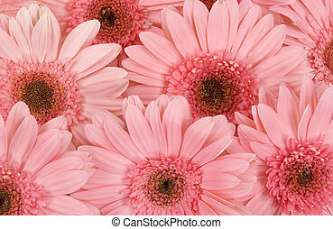 Gerbera daisy background
