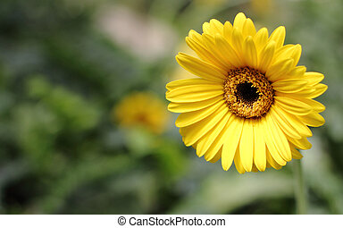 Gerbera daisies growing on a garden with shallow depth of ...