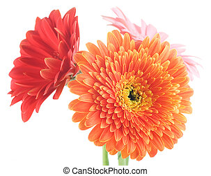 Gerbera Daisies Isolated On White