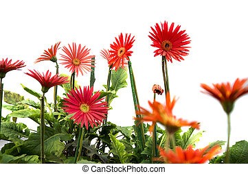 Gerbera daisies on white background