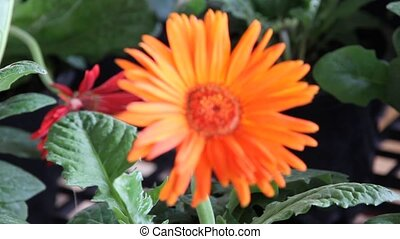 gerbera daisy blowing in the wind