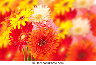 bunch of colorful gerbera daisies with out of focus flower background