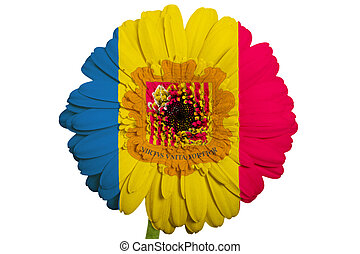 gerbera daisy flower in colors national flag of andorra on white background as concept and symbol of love, beauty, innocence, and positive emotions