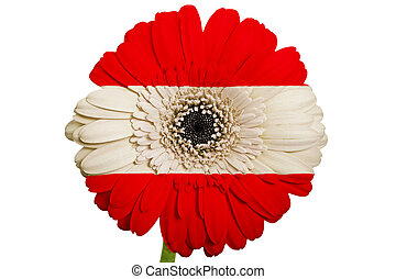 gerbera daisy flower in colors national flag of austria on white background as concept and symbol of love, beauty, innocence, and positive emotions