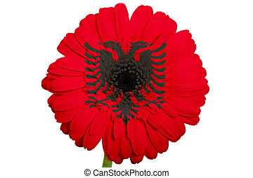 gerbera daisy flower in colors national flag of albania on white background as concept and symbol of love, beauty, innocence, and positive emotions