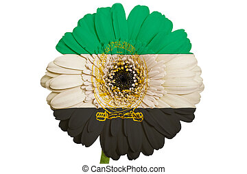 gerbera daisy flower in colors national flag of afghanistan on white background as concept and symbol of love, beauty, innocence, and positive emotions
