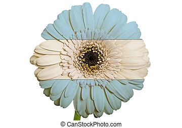 gerbera daisy flower in colors national flag of argentina on white background as concept and symbol of love, beauty, innocence, and positive emotions