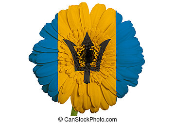 gerbera daisy flower in colors national flag of barbados on white background as concept and symbol of love, beauty, innocence, and positive emotions