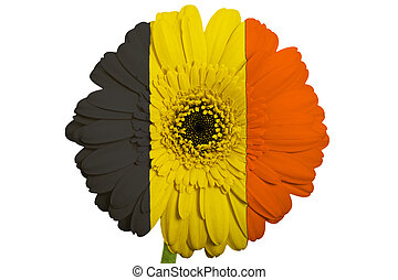 gerbera daisy flower in colors national flag of belgium on white background as concept and symbol of love, beauty, innocence, and positive emotions