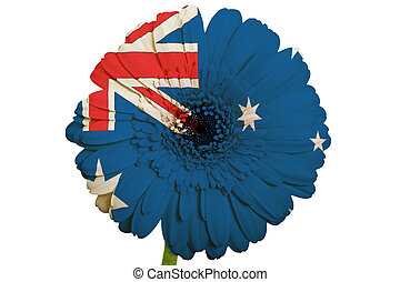 gerbera daisy flower in colors national flag of australia on white background as concept and symbol of love, beauty, innocence, and positive emotions