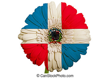 gerbera daisy flower in colors national flag of dominican on...