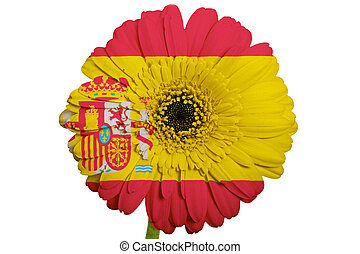 gerbera daisy flower in colors  on white background as concept and symbol of love, beauty, innocence, and positive emotions