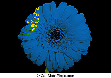 gerbera daisy flower in colorsflag of us state of nevadaon black background as concept and symbol of love, beauty, innocence, and positive emotions