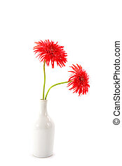 Gerbera daisy flower on white background.