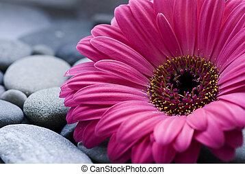 Gerbera daisy - gerbera daisy on pebble