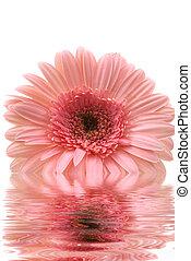 Gerbera Daisy - Gerbera daisy with water reflection