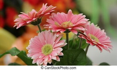 gerbera daisy in the vase