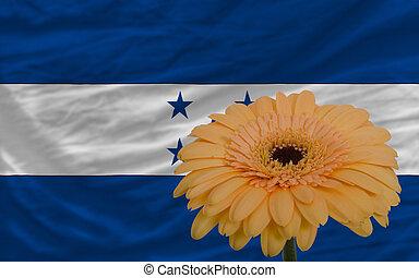 gerbera, flor, en frente, bandera nacional, de, honduras