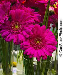 gerbera, flores, primer plano