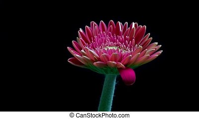 Gerbera flower bud closes at the end of day - timelapse HD