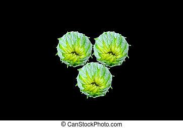 gerbera flower bud