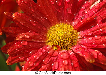 Gerbera flower close up with water droplets