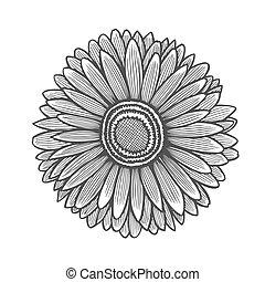 Gerbera flower illustration, line pattern. Vector artwork....