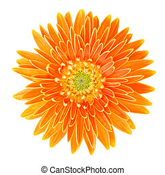 gerbera flower isolated on white background with clipping path