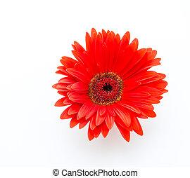 Gerbera flower isolated on white