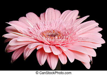 Gerbera flower on a black background