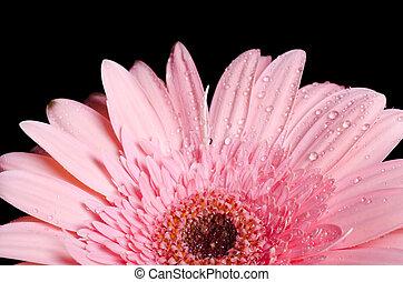 Gerbera flower on a black background