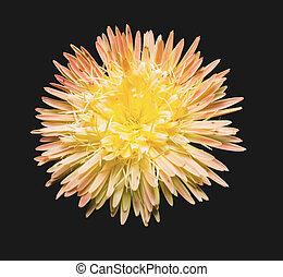 Gerbera flower on black background