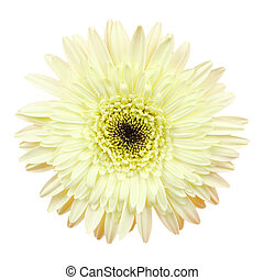 Gerbera flower on white background