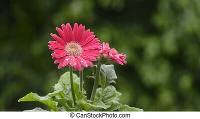 Gerbera flower wet with rain - Pink gerbera flower wet with...