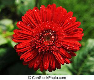 Gerbera flower with drops of dew