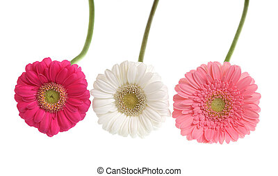 Gerbera flowers isolated on white.