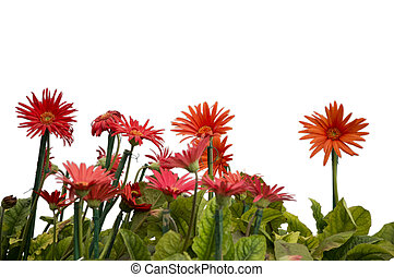Gerbera flowers on white