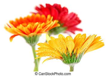 Gerbera flowers - Several colorful gerbera flowers with dew...