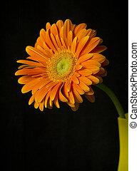 Gerbera in a glass vase